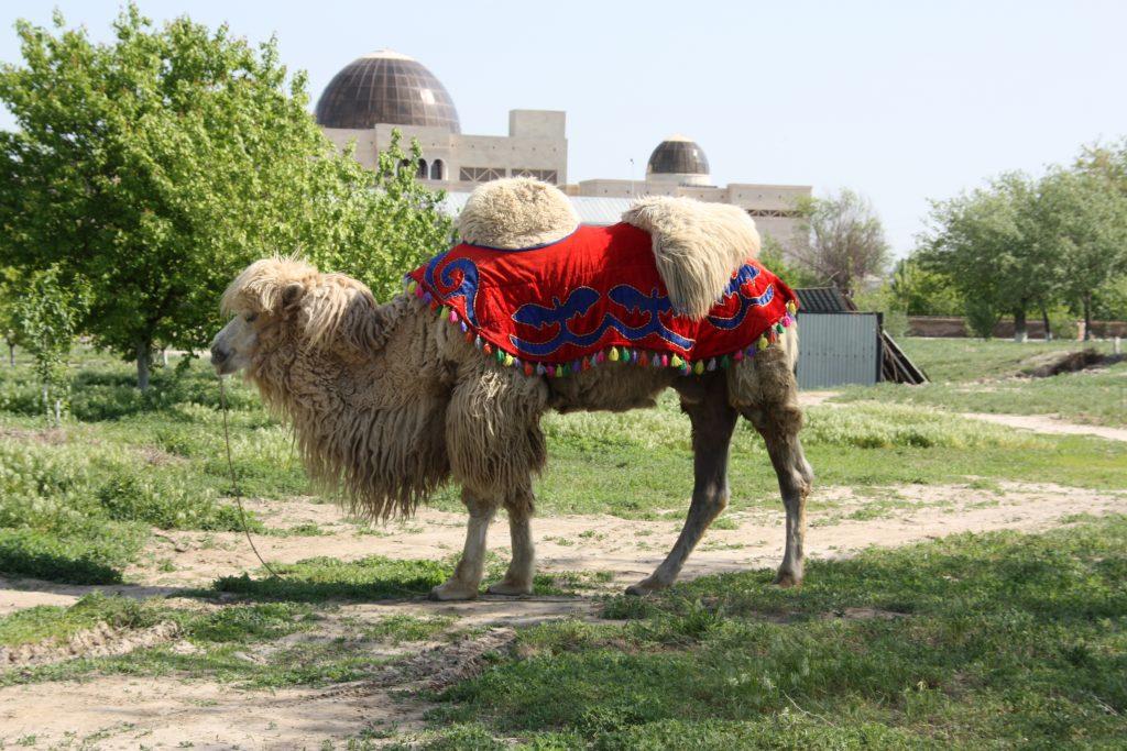 カザフスタンのラクダ